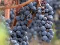 Vin français : la gueule de bois, documentaire sur Canal+